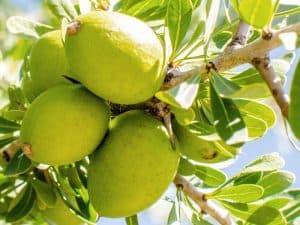Arganöl - Wirkung, Inhaltsstoffe, Herkunft und Anwendung