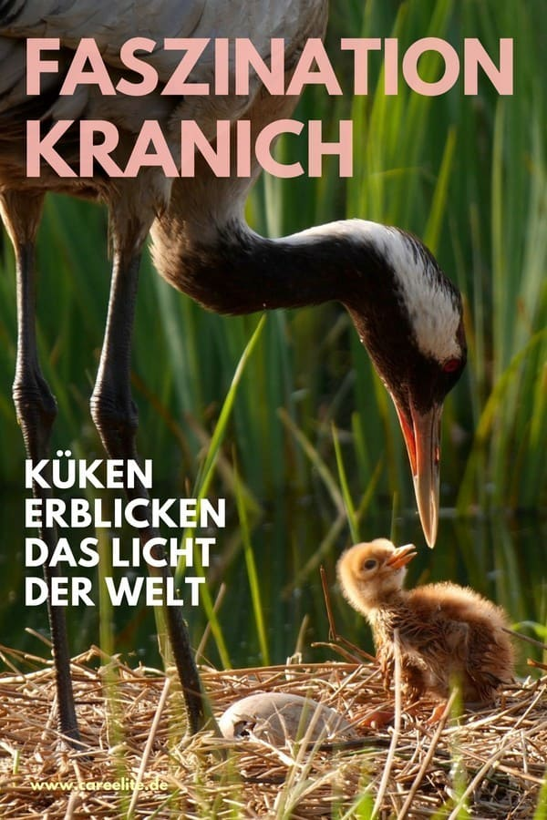 Wildlife Frühling Deutschland - Kraniche