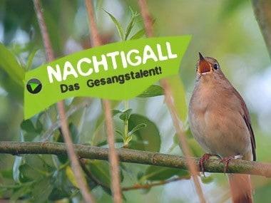 Vogel Nachtigall Gesang vom Männchen