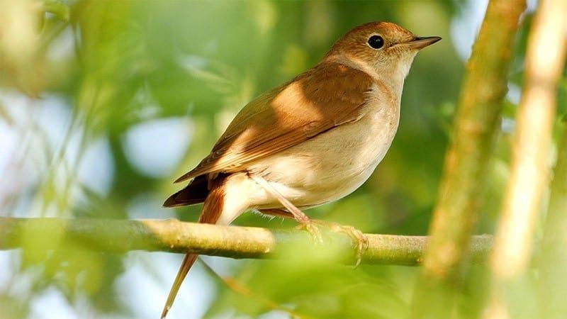 Nachtigall Gesang Vogel Männchen Video