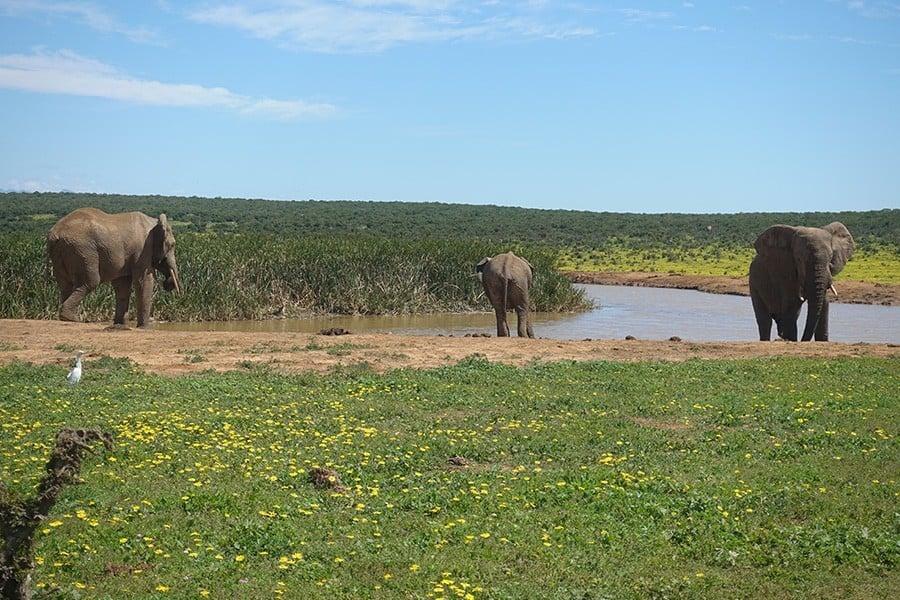 Addo Elephant National Park Selbstfahrer Safari Elefanten
