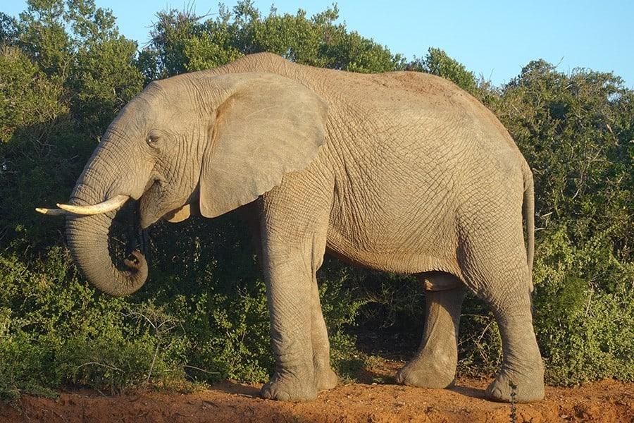 Addo Elephant National Park Selbstfahrer Safari Elefant