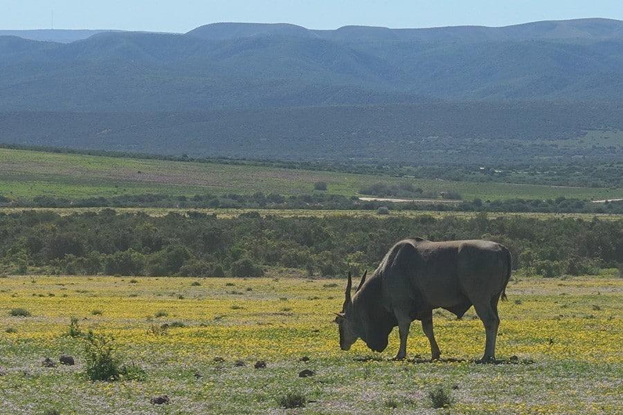 Addo Elephant National Park Selbstfahrer Safari Kudu