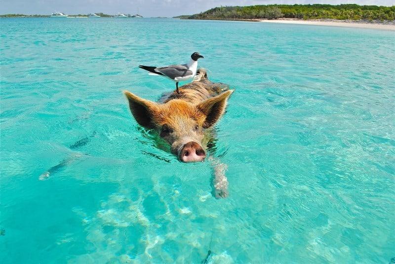 Vegan im Urlaub Tipps schwimmendes Schwein