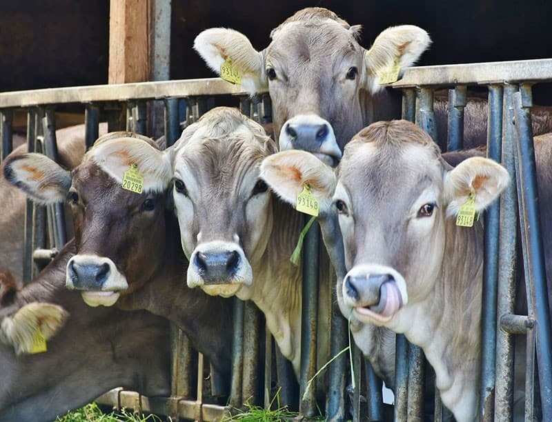 Haben Kühe und andere Tiere Emotionen, Gefühle und Schmerzempfinden?