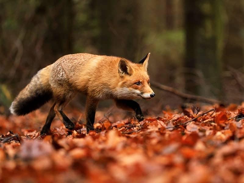Tierschutzorganisationen setzen sich auch für Füchse ein