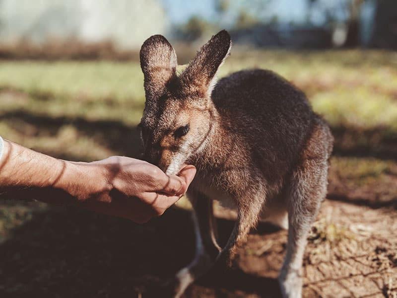 Auch Kängurus brauchen Tierschutzorganisationen
