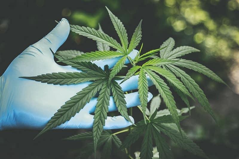 Cannabis Statistiken über Hanf Konsum