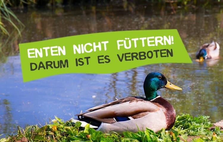 Enten nicht füttern - Warum gefährlich?