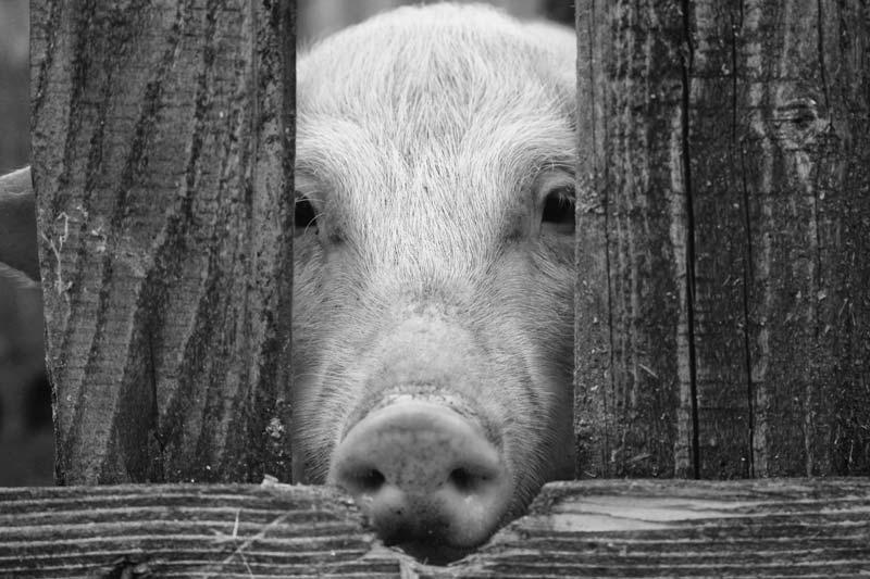 Schweine werden in der Massentierhaltung mit der CO2-Tötung vergast