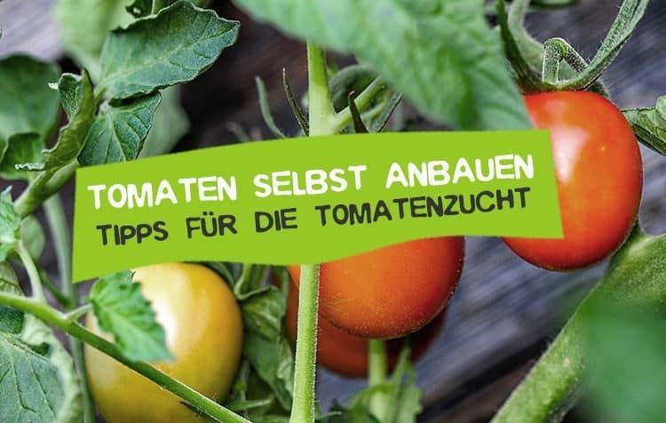 Tomaten selber anbauen Tipps