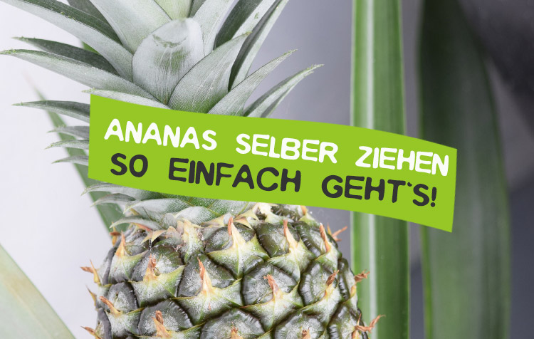 Ananas selber ziehen