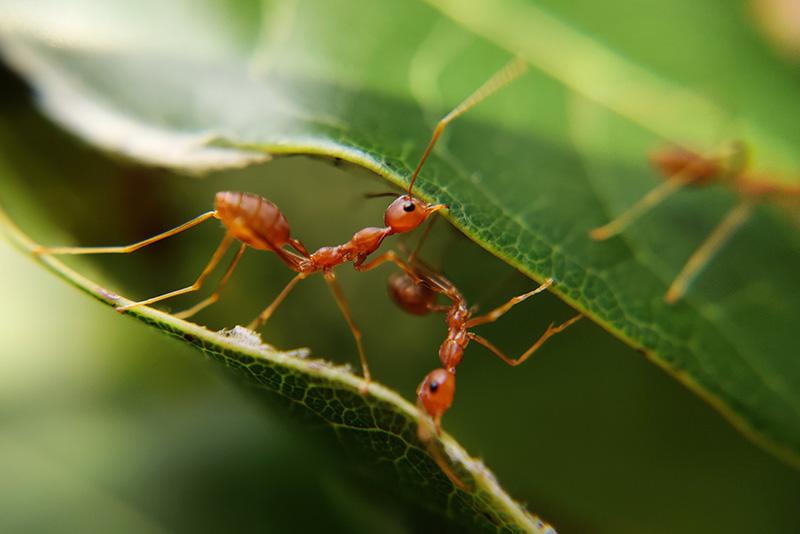 Ameisen unterstützen sich gegenseitig