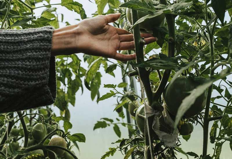 Urbaner Gartenbau mit Tomaten