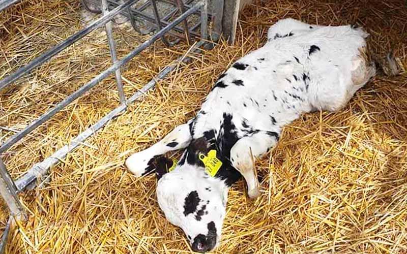 Brutale Milchindustrie - Kälbchen von Mutter getrennt