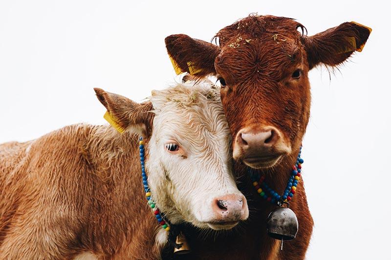 Kühe zeigen Mitgefühl und Liebe