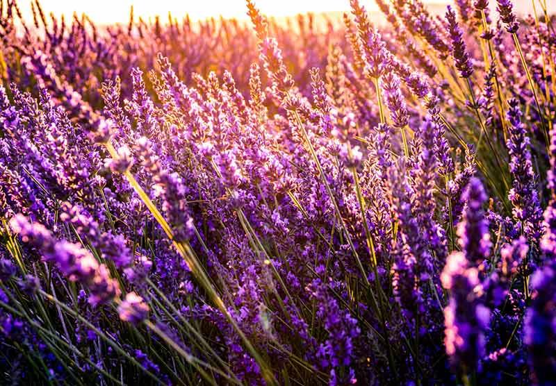 Lavendelfeld - Ideal für beruhigenden Tee