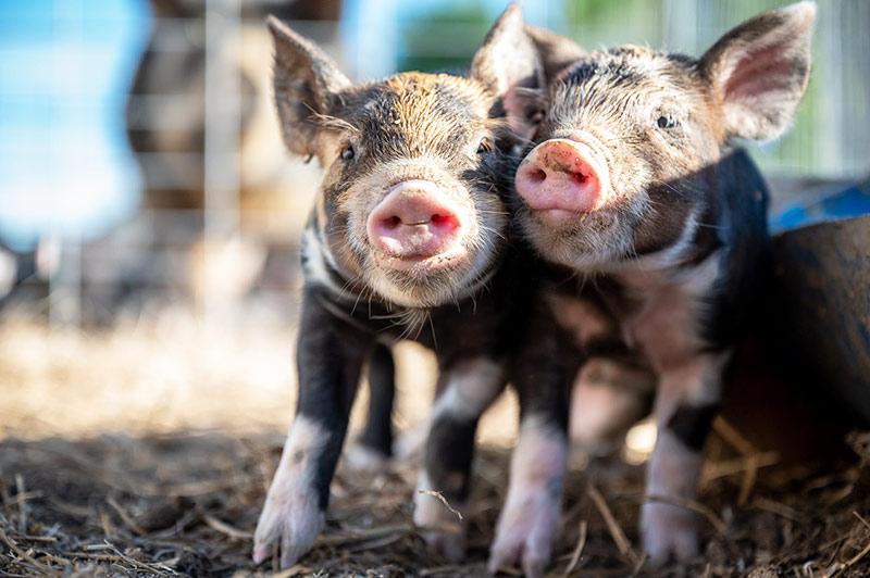 Kleine Schweine - Soziale Strukturen