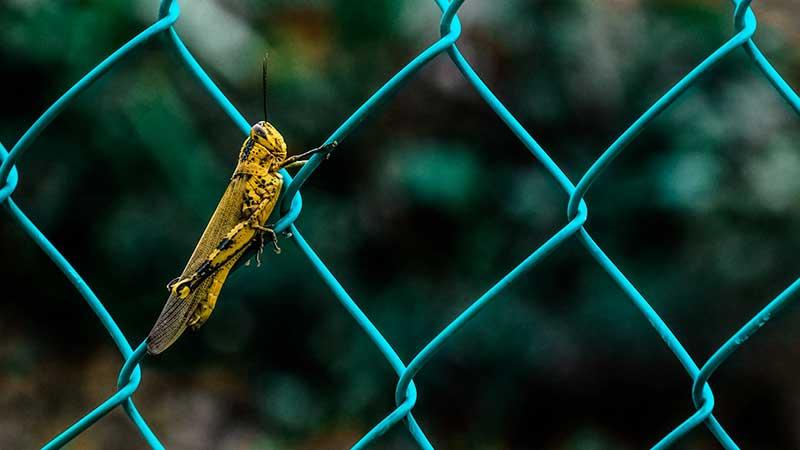 Eine Heuschrecke an einem Zaun