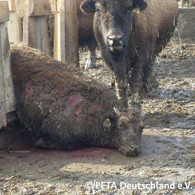 Getöteter Bison - Live Zähler