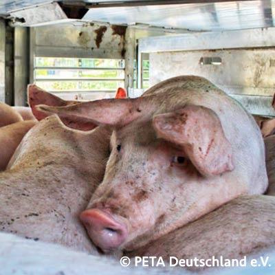 Getötete Schweine pro Sekunde Zähler