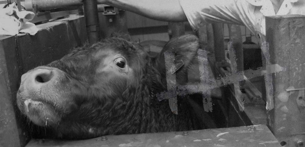 Online Zähler - Eine Kuh wird mit dem Bolzenschussgerät getötet