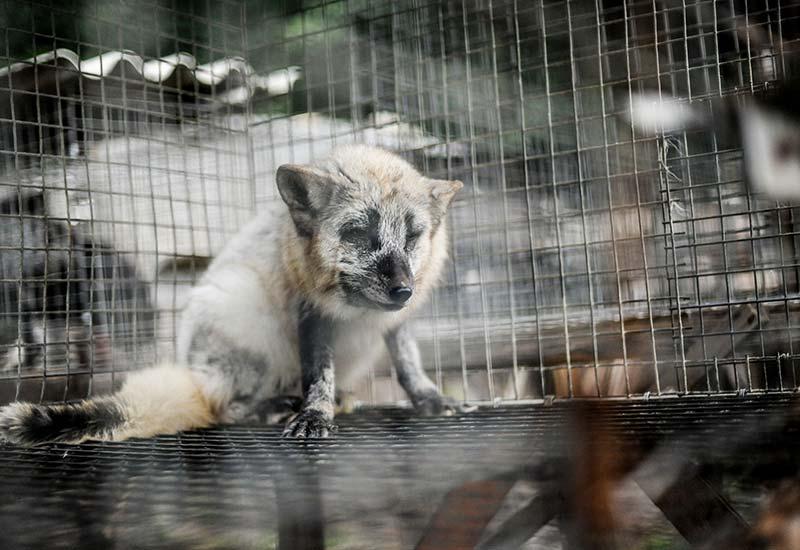 Tiere in der Pelzindustrie - Zahlen & Fakten