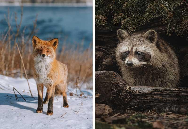 Fuchs und Waschbär als Opfer der Pelzindustrie