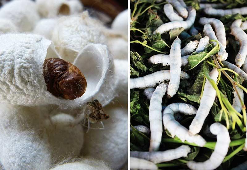 Seide ist nicht vegan - Seidenspinner produzieren die Fasern
