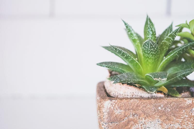 Aloe Vera als Schlafzimmer Pflanze