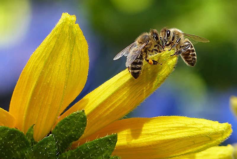 Bienen Honig - Warum essen Veganer keinen Honig?