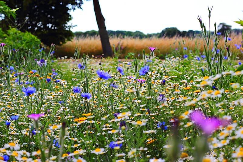 Wildblumenwiese anlegen für Garten mit Vögeln