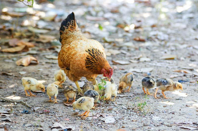 Hühner - Warum essen Veganer keine Eier?