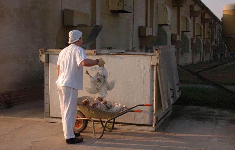 Tierquälerei Hühnermast