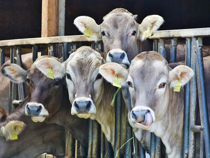 Geschmack von Fleisch ist zu lecker - Kühe