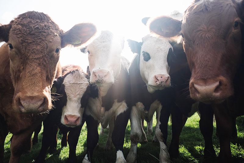 Ist Fleisch essen notwendig - Kühe