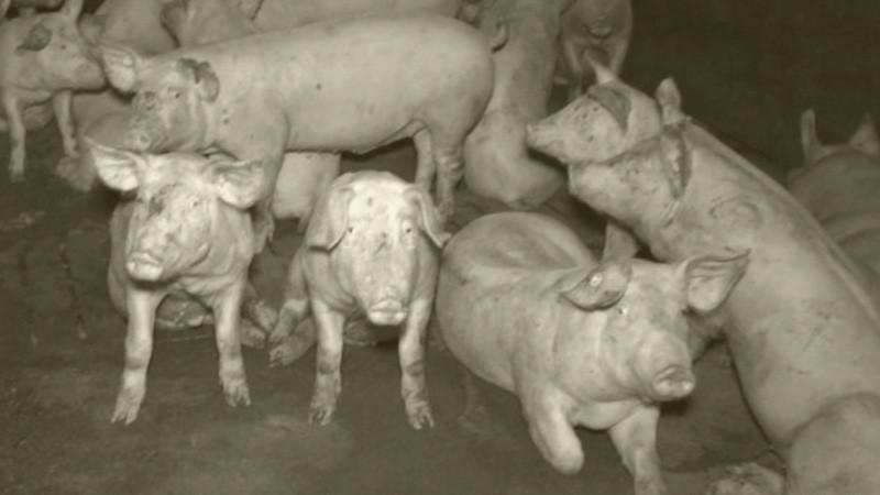 Fleisch Hitler war Vegetarier Argument
