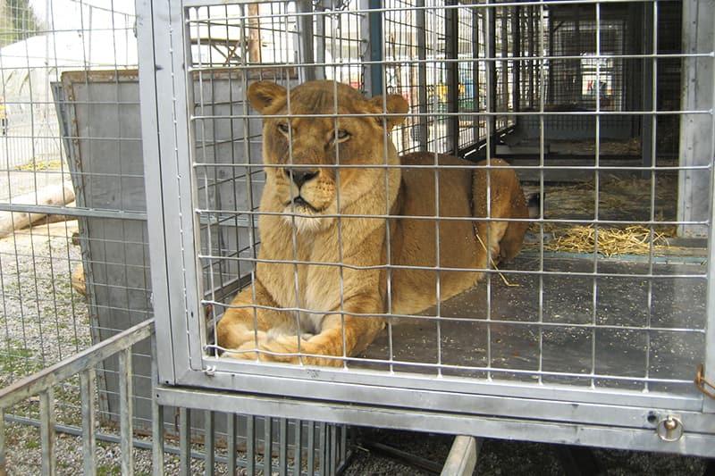 Löwe - Unterhaltung mit Tieren