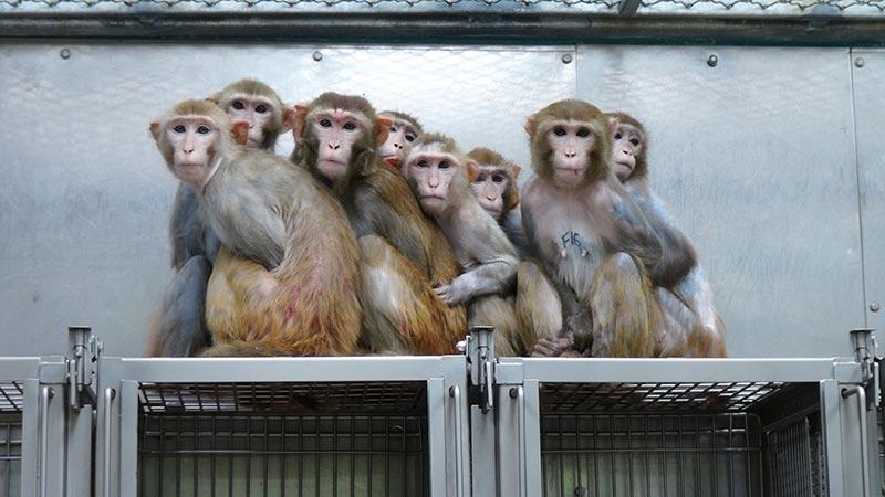 Affen bei Tierversuchen