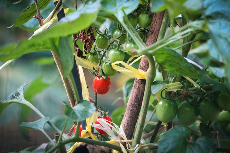 Kletterhilfe - Tomaten selber anbauen