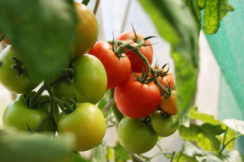 Tomatensorten - Tomaten selber anbauen