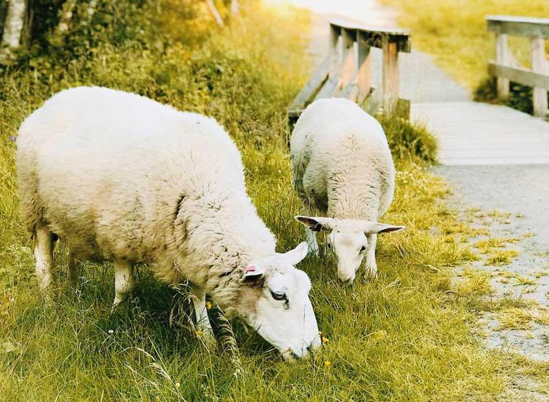 Veganer keine Wolle von Schafen