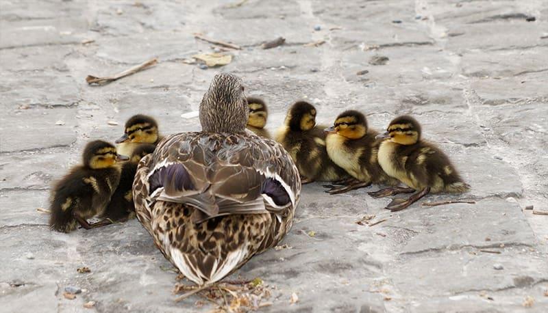 Enten nicht füttern - Warum verboten?