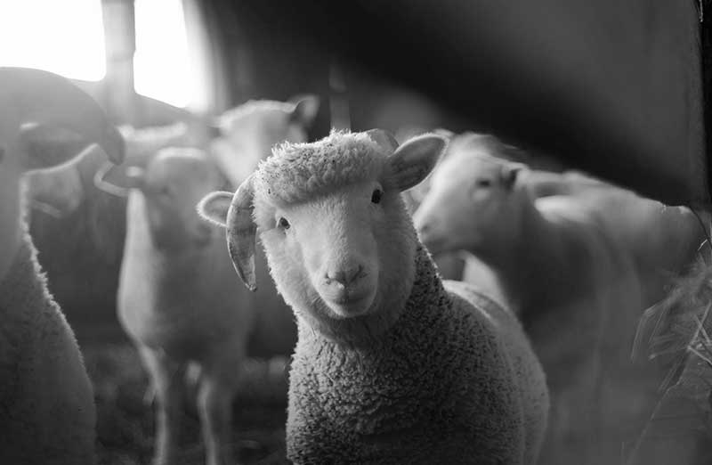 Veganismus und Religion - Schaf