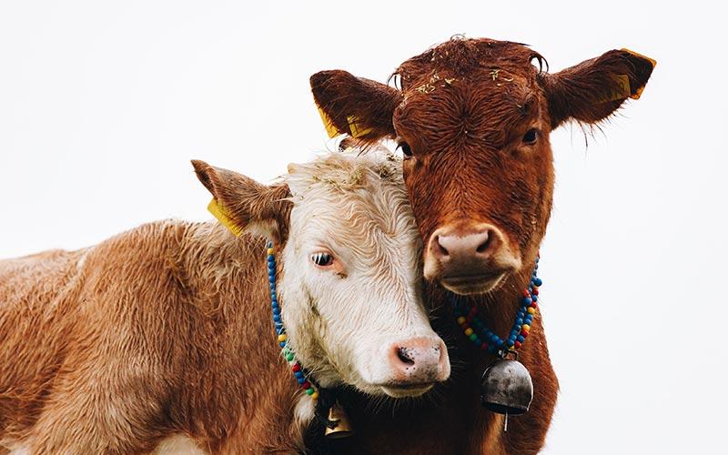 Ich esse nur wenig Fleisch - Kühe