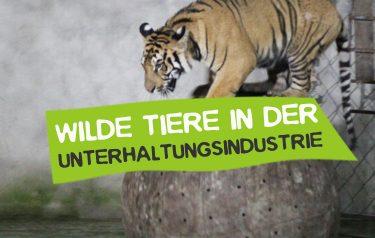 Wilde Tiere in der Unterhaltungsindustrie - Tiger