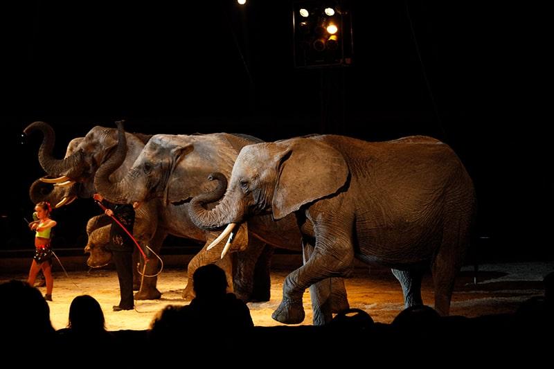 Tierquälerei bei Tieren im Zirkus - Elefanten